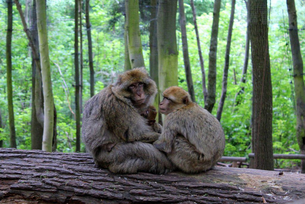 la montagne des singes alsace