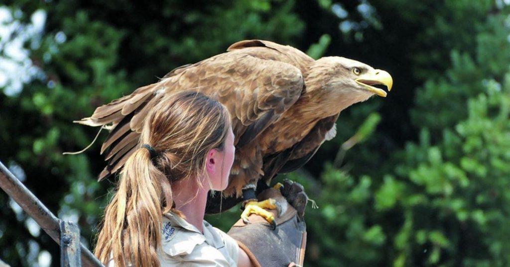 volerie des aigles alsace spectacle oiseaux rapaces