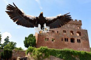 volerie des aigles chateau rapace vue sur Alsace