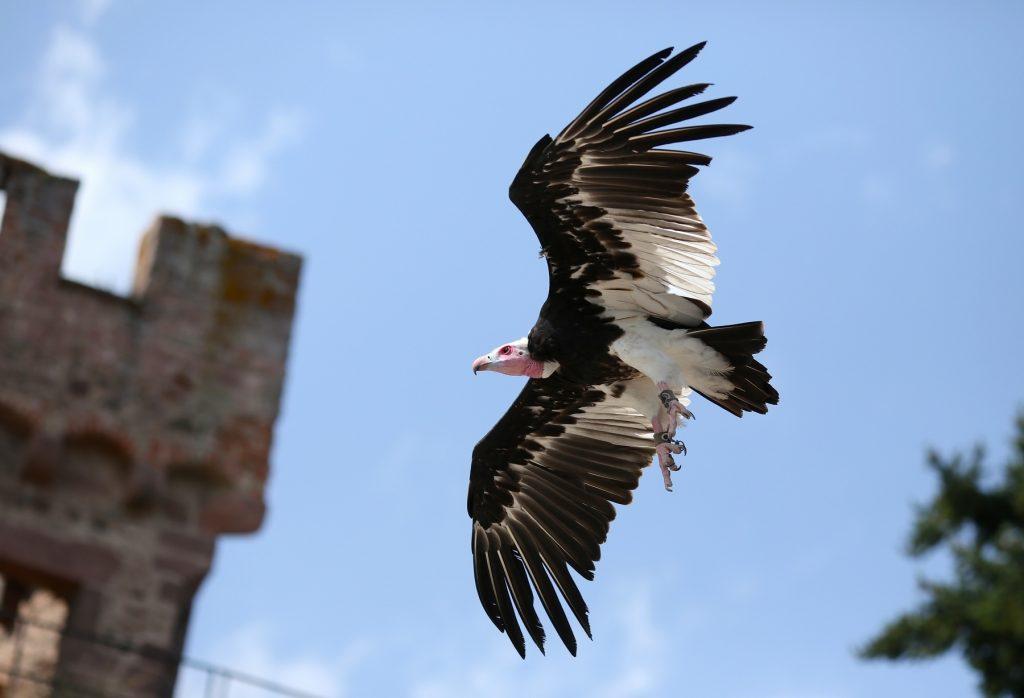 volerie des aigles rapaces en vol libre